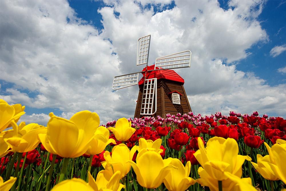 荷兰标志性代表风车郁金香_高瑞品牌_北京logo设计